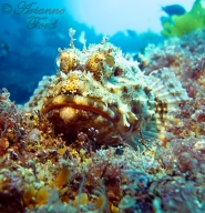 Poor Knights - scorpionfish